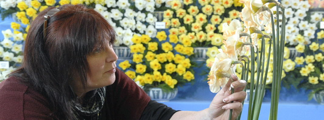 Picture of exhibitor arranging daffodils